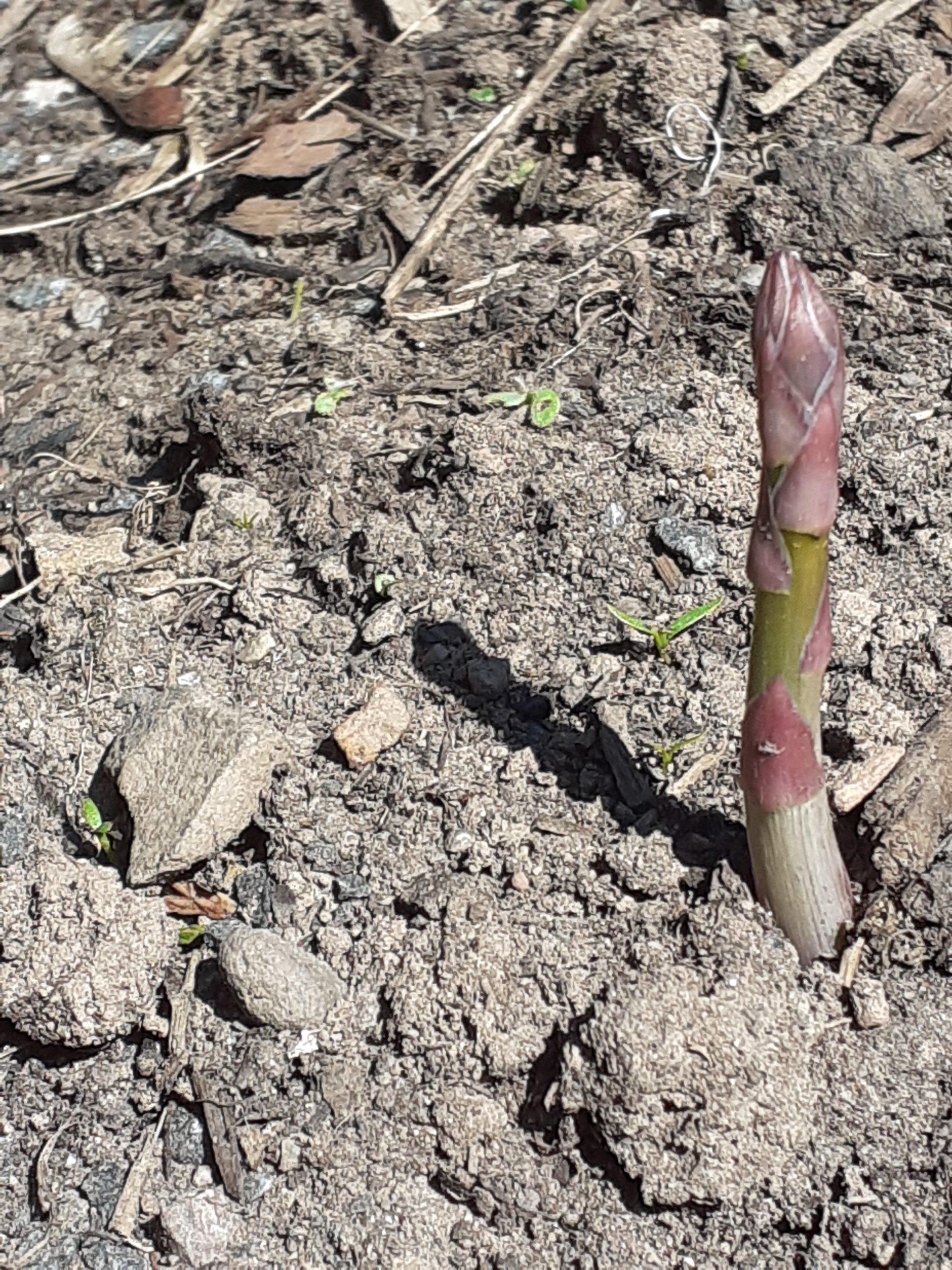 asparagus spear casting shadow